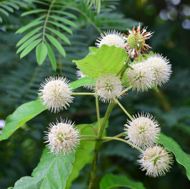 Knopfbusch First Edition® 30-40cm - Cephalanthus occidentalis