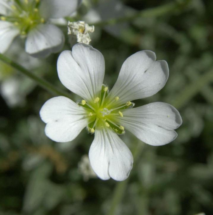 Hornkraut - Cerastium tomentosum