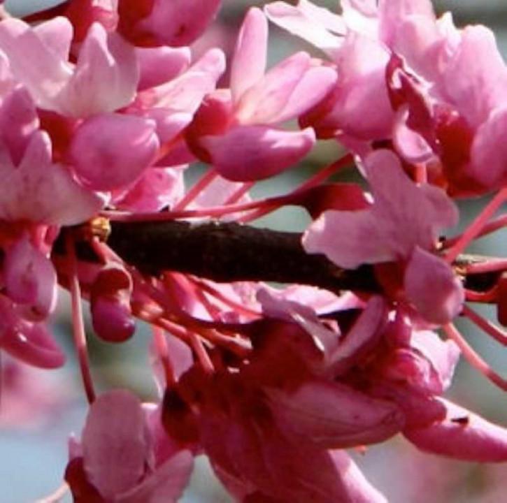Kanadischer Roter Judasbaum Flame 80-100cm - Cercis canadensis