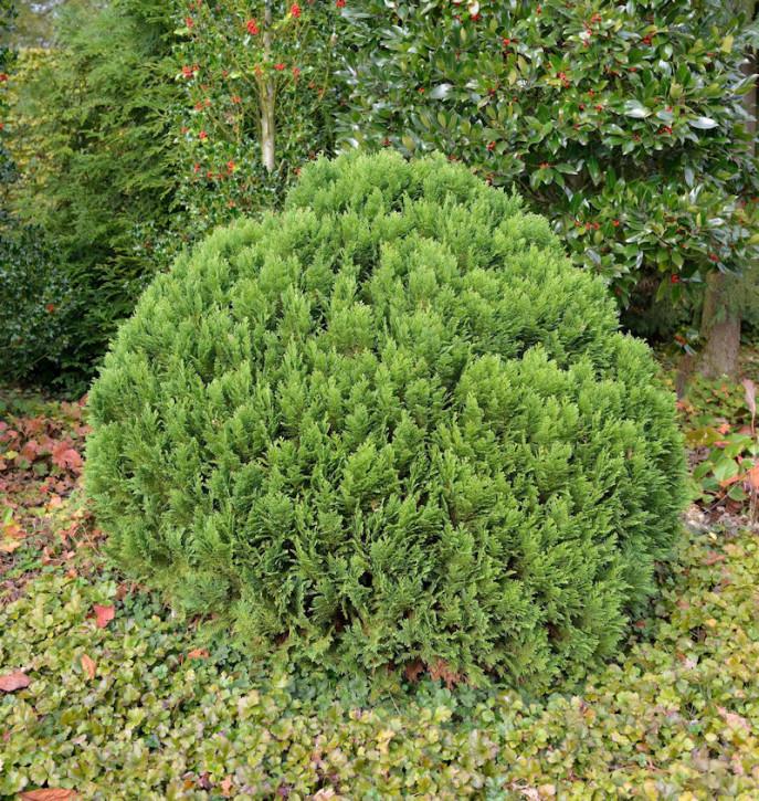 Kugelzypresse Globosa 25-30cm - Chamaecyparis lawsoniana