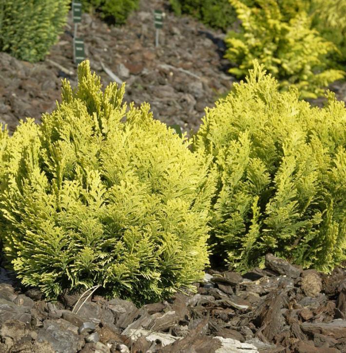 Zwerg-Scheinzypresse Mini Nova 20-25cm - Chamaecyparis lawsoniana