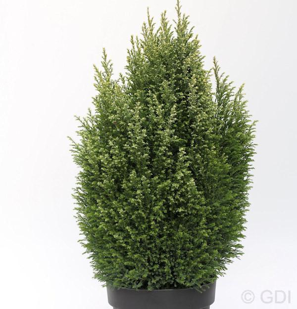 Gartenzypresse Snow White® 15-20cm - Chamaecyparis lawsoniana