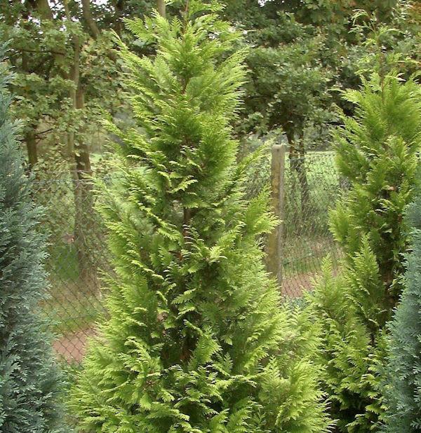 Garten Zypresse Sunny Kiss Green 60-80cm - Chamaecyparis lawsoniana