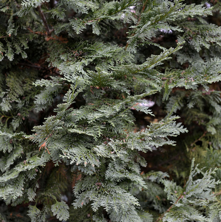 Gartenzypresse White Spot 30-40cm - Chamaecyparis lawsoniana