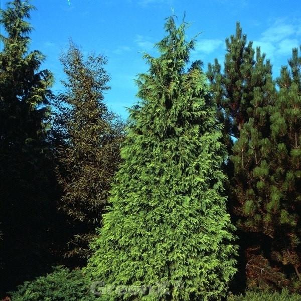 Gelbe Nootka  Scheinzypresse Aurea 100-125cm - Chamaecyparis nootkatensis