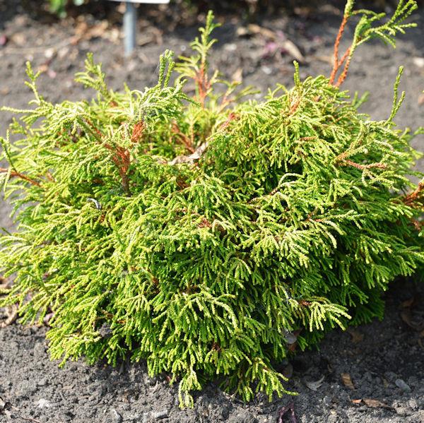 Gelbe Hinoki Scheinzypresse Gitte 30-40cm - Chamaecyparis obtusa