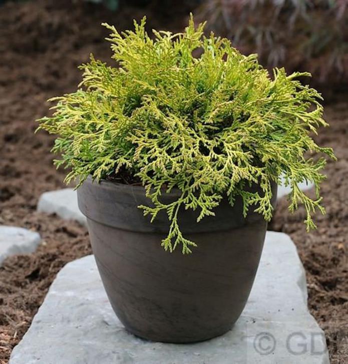 Breite Kissenzypresse Kamarachiba 15-20cm - Chamaecyparis obtusa