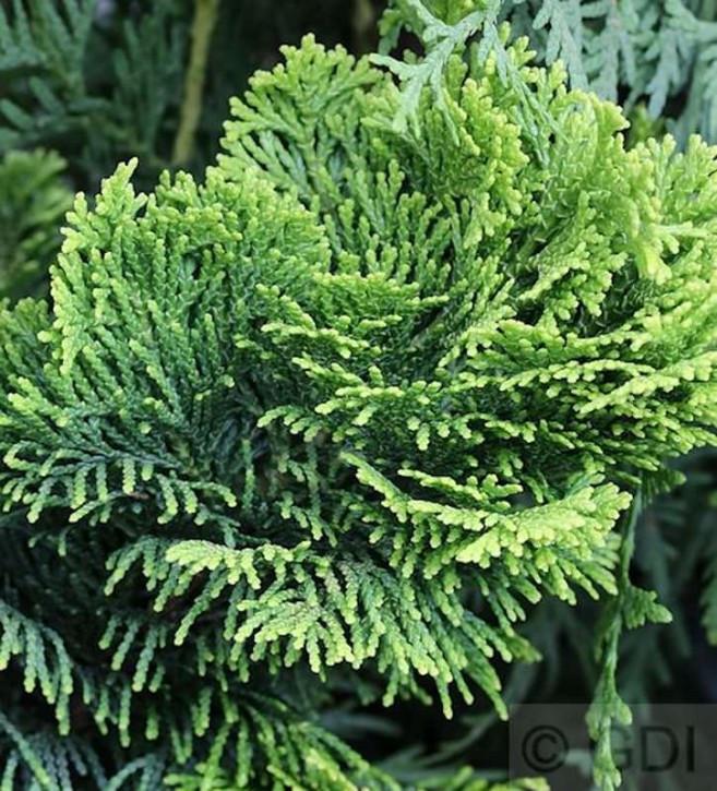 Hochstamm Gelbe Zwerg Muschelscheinzypresse 40-60cm - Chamaecyparis obtusa