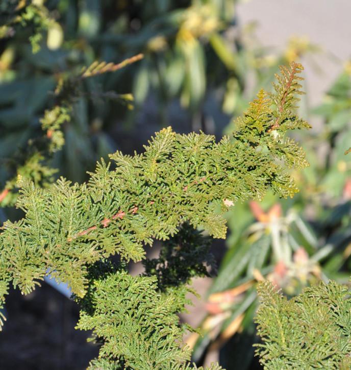 Hochstamm Hinoki Scheinzypresse Teddy Bear 80-100cm - Chamaecyparis obtusa