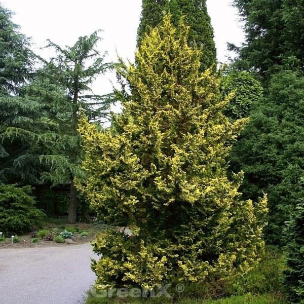 Zwerg Hinoki Scheinzypresse 50-60cm - Chamaecyparis obtusa