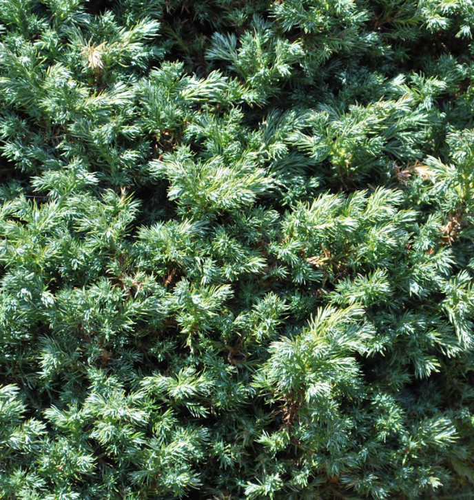 Hochstamm Zwerg Silberzypresse Baby Blue 40-60cm - Chamaecyparis pisifera