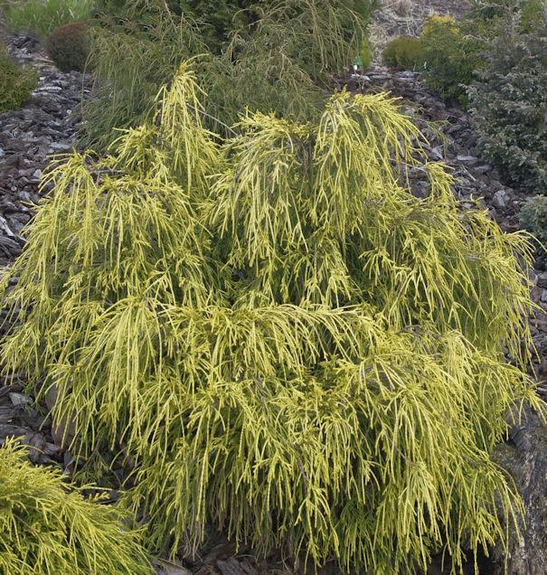 Gelbe Fadenzypresse 15-20cm - Chamaecyparis pisifera