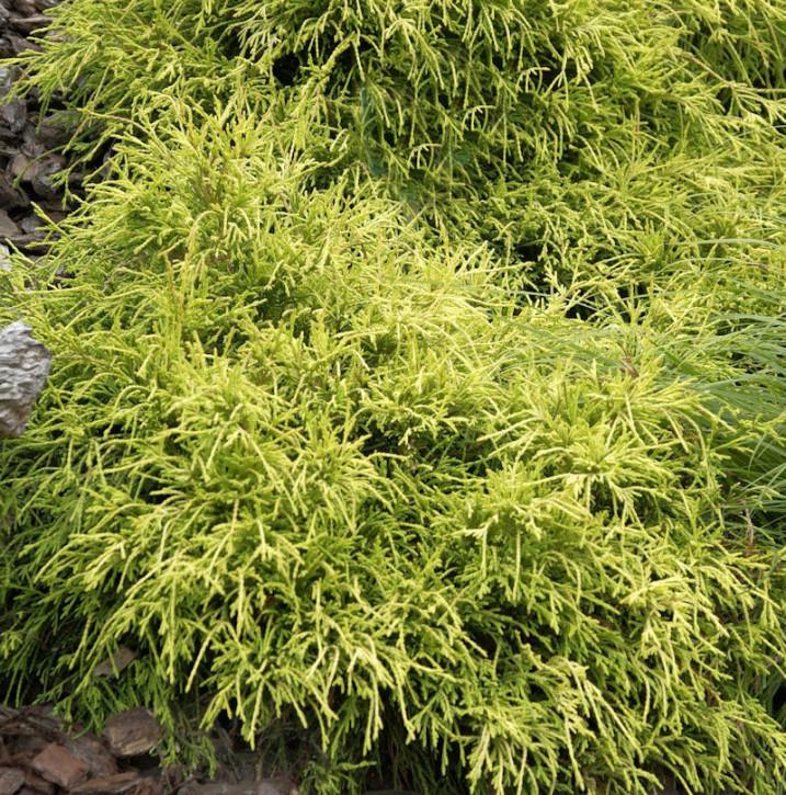 Gelbe Fadenzypresse Sungold 10-15cm - Chamaecyparis pisifera