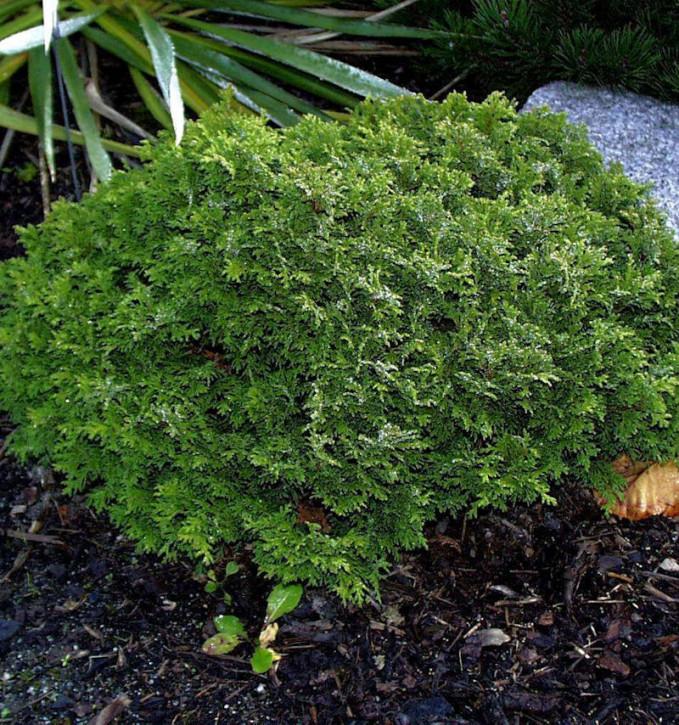 Scheinzypresse Tama Himuro 25-30cm - Chamaecyparis pisifera