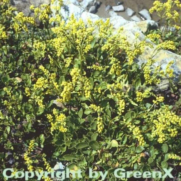 Goldtröpfchen - Chiastophyllum oppostifolium