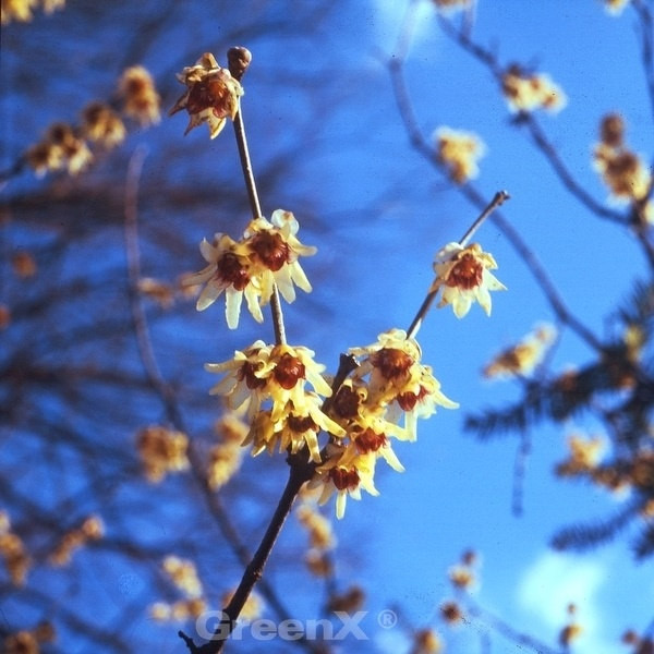 Chinesische Winterblüte 80-100cm - Chimonanthus praecox