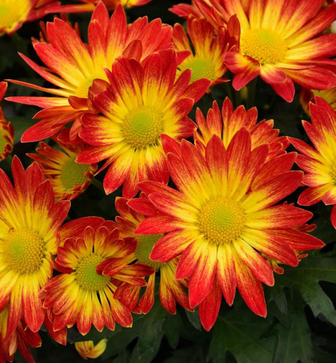 Winteraster Dernier Soleil - Chrysanthemum hortorum