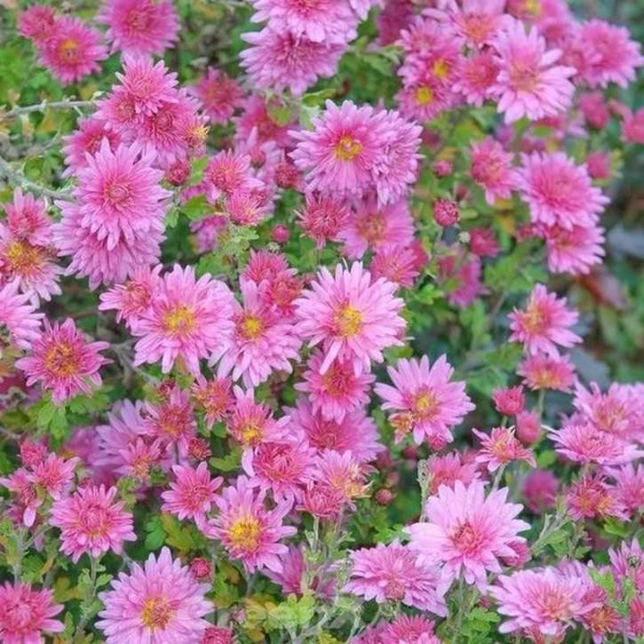 Herbstaster Mey-Kyo - Chrysanthemum hortorum