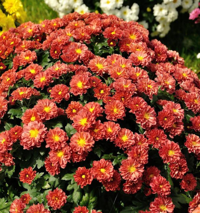 Winteraster Red Velvet - Chrysanthemum hortorum