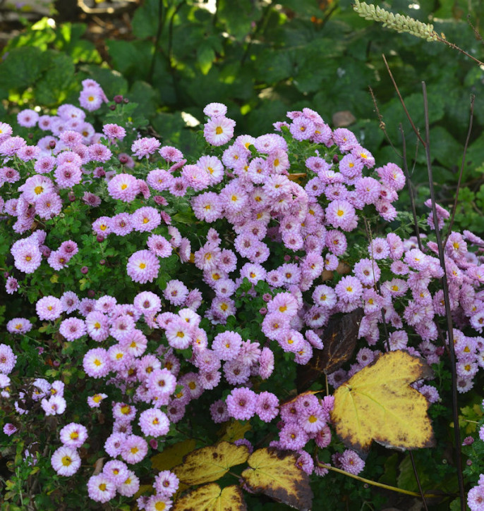 Winteraster Rosensilber - Chrysanthemum hortorum