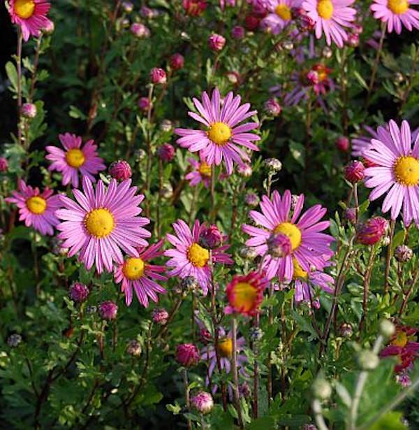 Herbstaster Clara Curtis - Chrysanthemum zawadskii