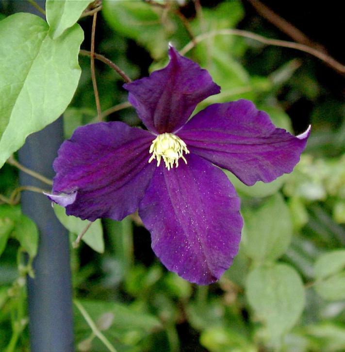 Robuste Waldrebe Viola 60-80cm - Clematis viticella