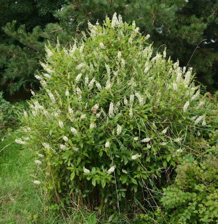 Zimterle Silberkerzenstrauch 100-125cm - Clethra alnifolia