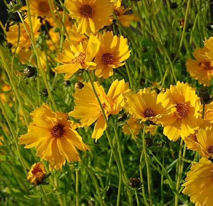 Mädchenauge Schnittgold - Coreopsis grandiflora