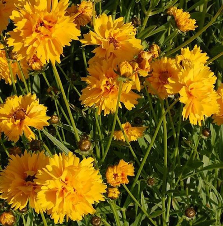 Mädchenauge Sunray - Coreopsis grandiflora