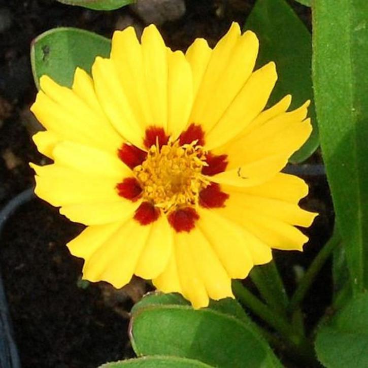 Mädchenauge Walter - Coreopsis verticillata
