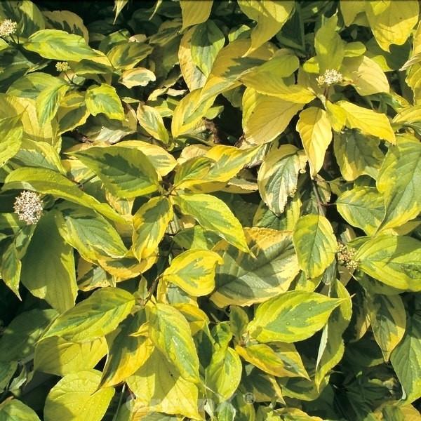 Gelbbunter Hartriegel 100-125cm - Cornus alba