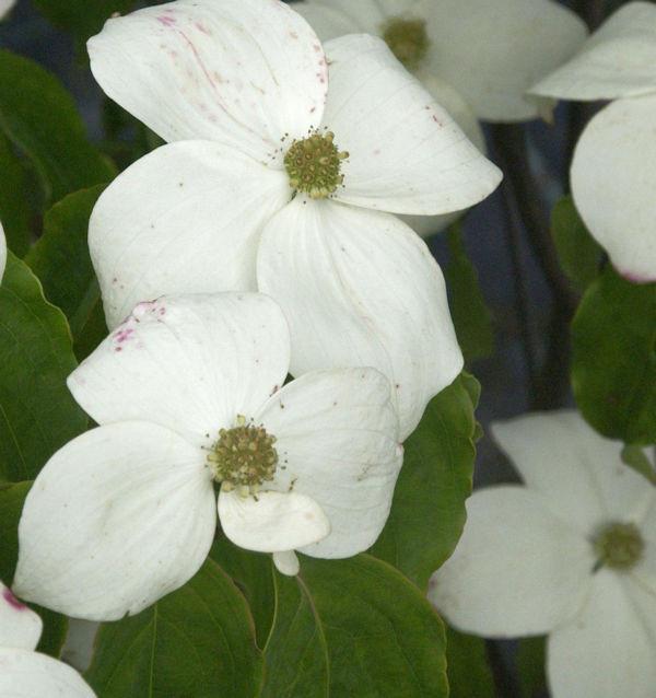 Blumenhartriegel White Cloud 80-100cm - Cornus kousa