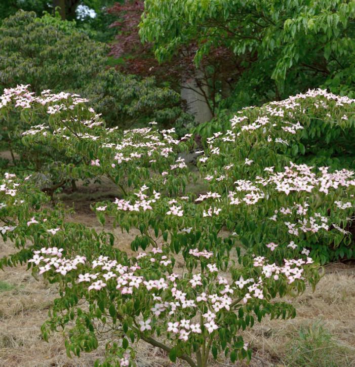 Japanischer Blumen Hartriegel Madame Butterfly 60-80cm - Cornus kousa