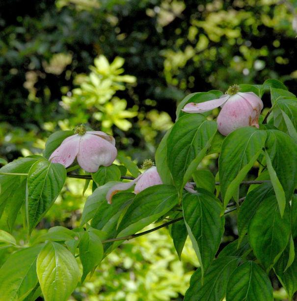 Chinesischer Hartriegel Stellar Pink® 60-80cm - Cornus kousa