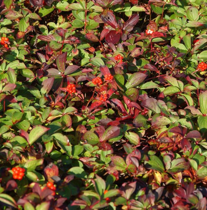 Teppich Hartriegel - Cornus canadensis