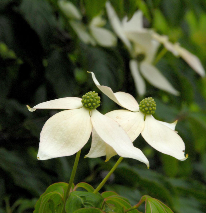 Japanischer Blumenhartriegel 60-80cm - Cornus kousa