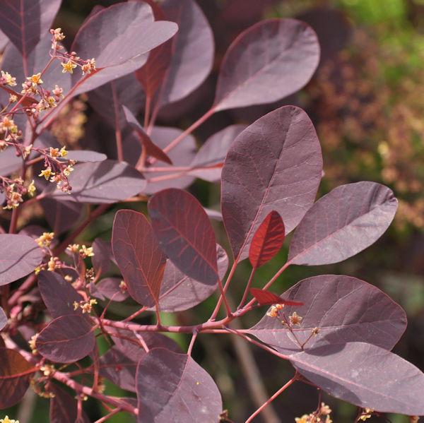 Perückenstrauch Dusky Maiden® 30-40cm - Cotinus coggygria
