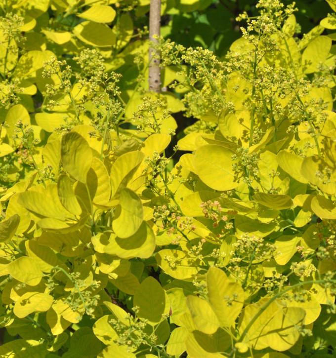 Perückenstrauch Golden Lady® 30-40cm - Cotinus coggygria