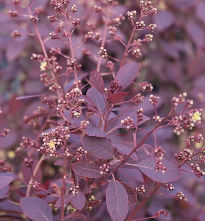 Perückenstrauch Royal Purple 30-40cm - Cotinus coggygria