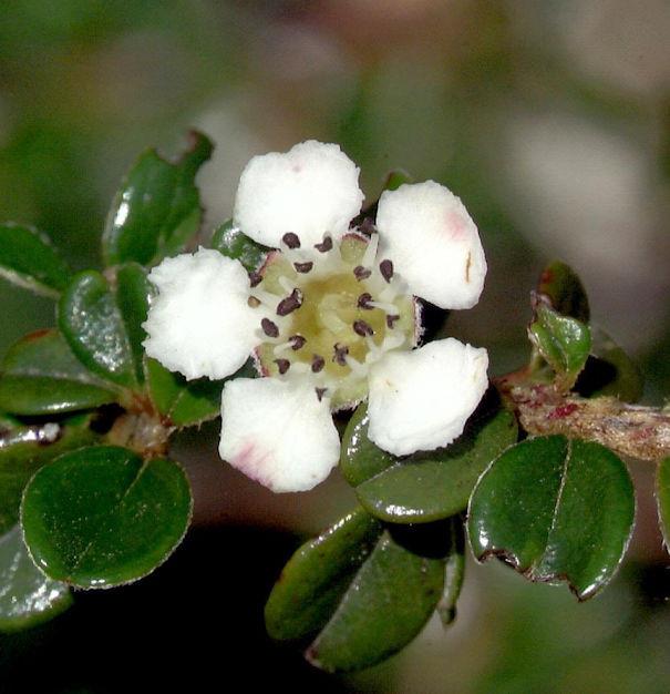 Hochstamm Immergrüne Kissenmispel 60-80cm - Cotoneaster microphyllus