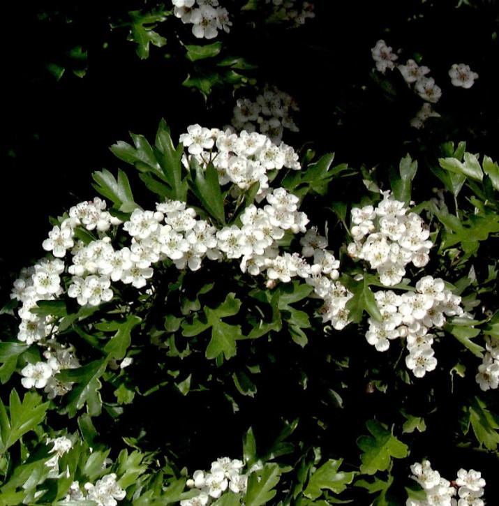 Hochstamm Kugel Zwerg Weißdorn 40-60cm - Crataegus monogyna