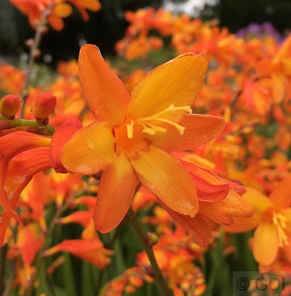 Garten Monbretie Babylon - Crocosmia crocosmiiflora