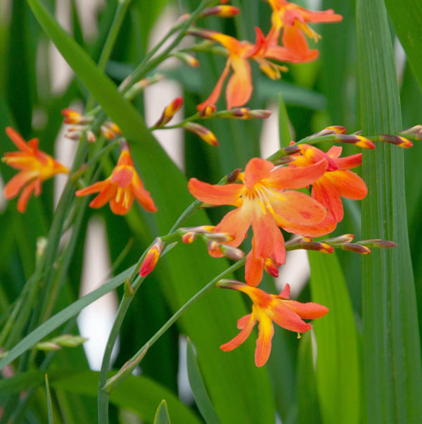 Garten Monbretie Carmine Brilland - großer Topf - Crocosmia crocosmiiflora