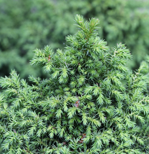 Sicheltanne Yokohama 15-20cm - Cryptomeria japonica
