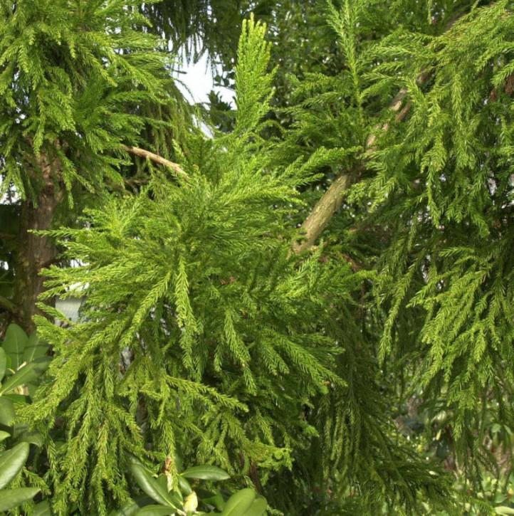 Hahnenkamm Sicheltanne Cristata 30-40cm - Cryptomeria japonica