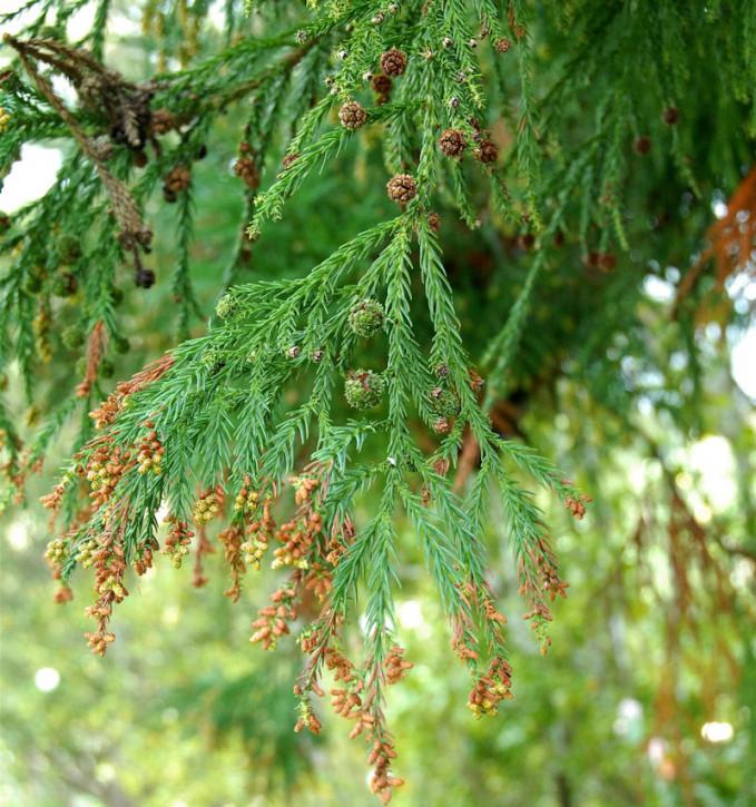Sicheltanne 40-60cm - Cryptomeria japonica