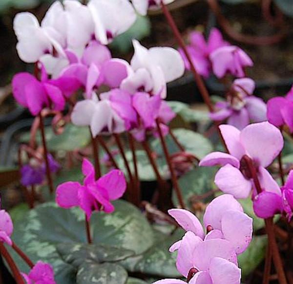 Frühlings Alpenveilchen - Cyclamen coum