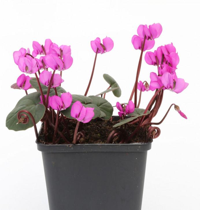 Herbst Alpenveilchen Ivy Ice Deep Purple - Cyclamen hederifolium