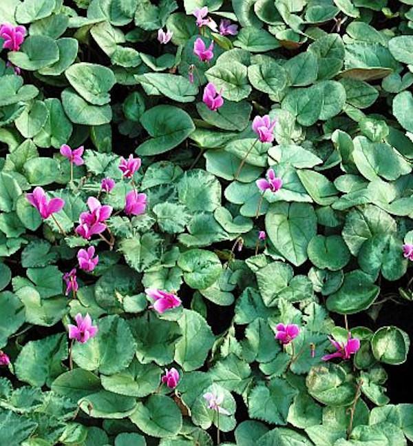 Herbst Alpenveilchen Silverleaf - Cyclamen hederifolium