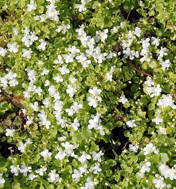 Blasses Zimbelkraut Alba - Cymbalaria pallida